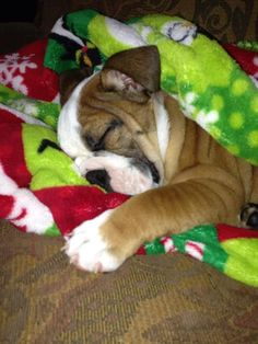 ❤ Snuggled in for a nap ❤ Posted on I love English Bulldogs