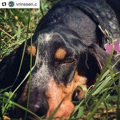 """📰 """"Snoozing 💤 Having a lazy day... As always..."""" Des nouvelles de L'AZUR d'An Naoned 💙 de Belgique 🇧🇪 Mâle Basset bleu de Gascogne né le 23/04/15 (Hebe d'An Naoned x Frog d'An Naoned) 📷 Mme Vrinssen  #basset #bbg #bassetbleudegascogne #be #belgium #bassetlovers #doglove #dog #chien #hund #cani #pet #belgique #dogpics #petpics #bassetoftheday #dogmasternews"""