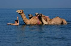 Ras Al Khaimah: camels in a new terrain. Picture by Lal Nallath
