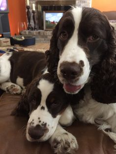 English Springer Spaniel & Pup ~ Classic Look
