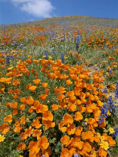 california beauties!   golden poppies and lupines - we get to see them every spring.