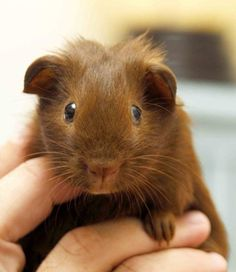 Lil' guinea pig such a sweet face!