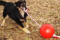 Tuggo Dog Toy - Great tugging ball for one or two dogs. Amazing dog toy that promotes fun and exercise outside. Available from ActiveDogToys.com