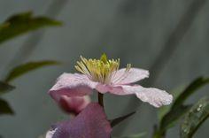 clématite montana