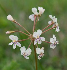 Cinnamon Geranium (Pelargonium triste)