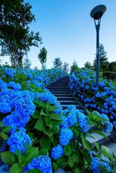 Stairs of hydrangea by Reiko Sato Most Beautiful Flower Pictures, Amazing Flowers, Pretty Flowers, Hortensia Hydrangea, Hydrangea Garden, Blue Hydrangea, Blue Garden, Dream Garden, Exotic Flowers