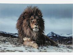 Obraz Proud Lion — Obrazy — KARE® Design