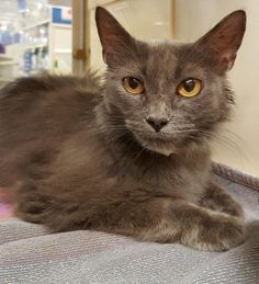 Meet Meg 22750, a Petfinder adoptable Domestic Short Hair Cat   Prattville, AL   Meg is a 1-year old, solid gray, spayed female. She is a pretty laid back cat, and doesn't mind the...