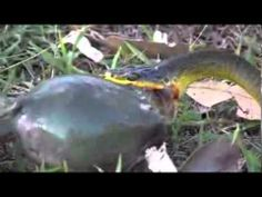 ▶ serpent mange la grenouille - YouTube