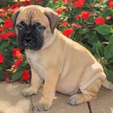 Bullmastiff Puppies For Sale Waz Zap What Sapp 60172415563 For
