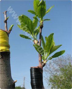Altoirea in cap de altoire_pomi_pornit Grafting Fruit Trees, Grafting Plants, Farm Gardens, Horticulture, Grape Vines, Herbalism, Planters, Gardening, Nursery Trees