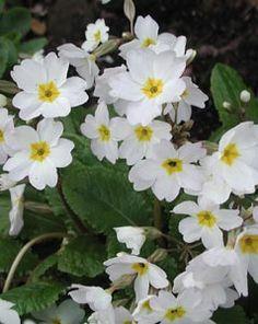 Primula x pruhoniciana 'Schneewittchen' - Garten-Teppich-Primel