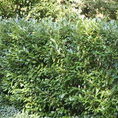 Prunus laurocerasus Otto Luyken (Laurierkers)