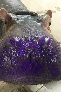 Fiona The Hippo Is An Artist Now And You Can Own Her First Painting