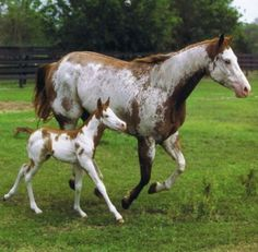 Overo Paint Mare and Foal. Foal Wants to See all.