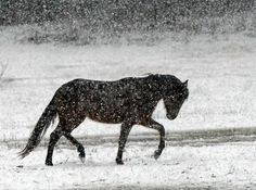Snow falls Sunday afternoon in metro Atlanta An Arabian horse makes its way across a snow-covered pasture off Stanton Road in Conyers as winter weather hammers the metro Atlanta area.