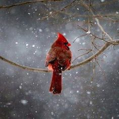 Love cardinals, and especially in the snow!