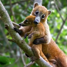Coatis, genera Nasua and Nasuella, also known as Brazilian aardvarks, Mexican tejón or moncún, hog-nosed coons, pizotes, Panamanian gatosolos, crackoons and snookum bears, are members of the raccoon family.