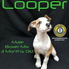 Nicholasville, Kentucky - Boxer. Meet Looper, a for adoption. https://www.adoptapet.com/pet/20406717-nicholasville-kentucky-boxer-mix