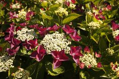 HYDRANGEA macrophylla 'Rotschwantz' Hydrangea Macrophylla, Plants, Hydrangeas, Plant, Planting, Planets, Hydrangea
