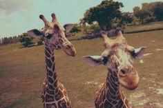 Giraffeeeee <3