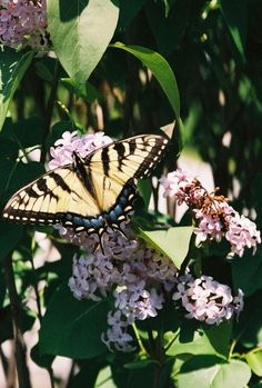 Beautiful butterfly on our Lilac.
