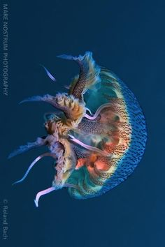 Love the colors... I think this is the best jellyfish photographer... https://www.facebook.com/MareNostrumPhotography?ref=ts=ts
