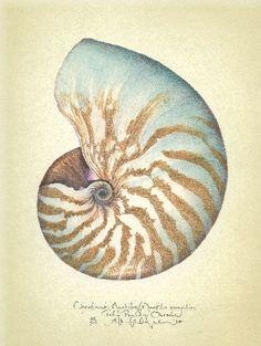 Art Print: Chambered Nautilus by Richard Van Genderen : Illustration Botanique, Botanical Illustration, Illustration Art, Nature Illustrations, Nautilus Shell, Painted Shells, Seashell Art, Seashell Drawings, Sign Printing