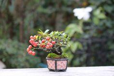 超ミニ盆栽のブログ