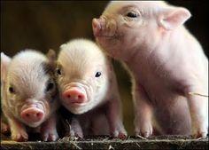 Teacup Pigs! :)