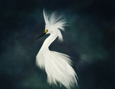 """Check out new work on my @Behance portfolio: """"Snowy Egret"""" http://be.net/gallery/47549637/Snowy-Egret"""