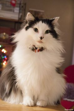 Patiently waiting for Christmas @yummmypets #theoreocat