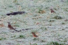 Redwing and fieldfares