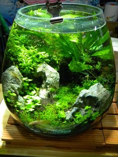 A great deal of men and women love aquascapes since they give us a way to experience a completely different world. Every aquascape needs to have a focus. The real key to any excellent aquascape is to begin at the bottom. Planted Aquarium, Betta Aquarium, Mini Aquarium, Nature Aquarium, Aquascaping, Vivarium, Paludarium, Indoor Water Garden, Indoor Plants