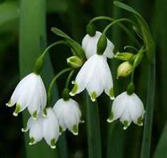 Snowflakes  Snowdrops have three long petals and three short ones. A snowflake's petals are all the same length.