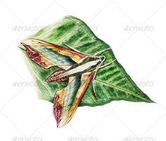 greenhawk moth