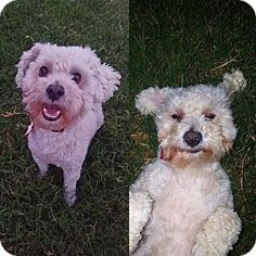 Arlington, WA - Poodle (Standard). Meet Champ, a dog for adoption…