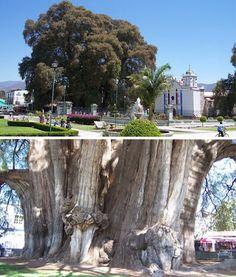Tule Tree of Oaxaca, Mexico