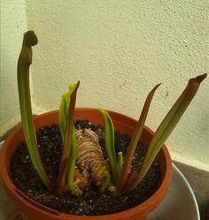 Sarracenia flava var. Tibbburtina in partenza #ascidi #spring #springtime #sarraceniaflava #sarracenia #carnivorousplantsofinstagram #carnivorousplants #carnivoroustagram #piantecarnivore by feruncolino