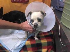 KIRBY - ID #A611348 (available 12/1) **MEDICAL WAIVER REQUIRED (INJURY - WILL UPDATE WHEN WE GET MORE INFORMATION). CAN BE ADOPTED BY ANYONE WHO SIGNS MEDICAL WAIVER I am a male, cream and white Chihuahua - Smooth Coated.... Devore Shelter at 19777 Shelter Way, Devore, CA 92407 in San Bernardino County, CA 92407: (909) 386-9820 https://www.facebook.com/118795328205474/photos/pb.118795328205474.-2207520000.1417370950./739864652765202/?type=3&theater
