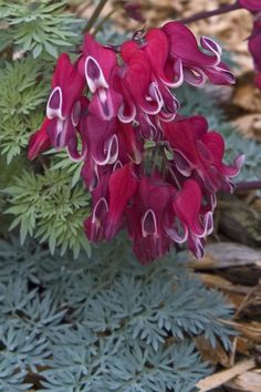Dicentra Burning Hearts - www.GreatGardenPlants.com