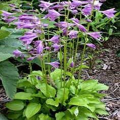 Hosta Lemon Lime  It forms bright gold tufts of tightly compact, very small leaves.  It is a very fast grower and perfect for edging along paths or walkways.  About 8 inches tall.  The flowers are a nice shade of vivid purple which contrast very well with the brilliant gold leaves.  We adore this little Hostas and share them readily . Garden Pond, Shade Garden, Garden Paths, Hosta Gardens, Small Leaf, Hollyhock, Morning Sun, Walkways, Lemon Lime