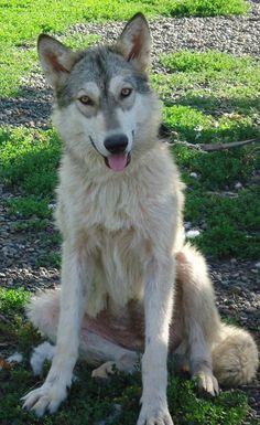 i need to adopt a wolfdog.