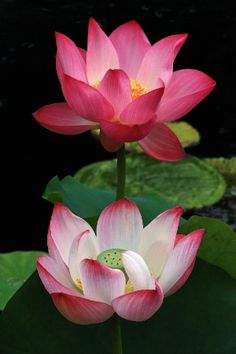 The beautiful and sacred lotus flower sen074 z45x100cm by two pink lotus mightylinksfo