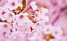 Cerejeira