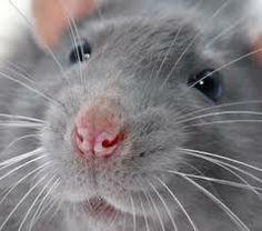 rats as pets Rats Mignon, Rat Care, Animals And Pets, Cute Animals, Animal Noses, Fancy Rat, Pet Vet, Cute Rats, Cute Mouse
