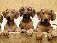 Image result for ridgeback puppies
