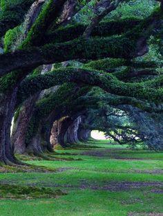 clavicle-moundshroud:  300 Year old Oak Trees, Oak Alley Plantation, Louisiana