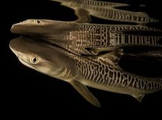 Tiger Shark Image | National Geographic Photo of the Day