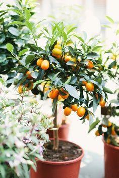 Kumquat tree in progress!